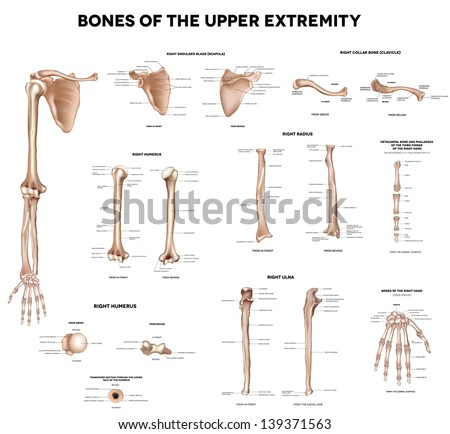 Clavicle (collar bone), scapula (shoulder blade), humerus, ulna, radius, finger and hand. Detailed medical illustrations. Latin medical terms. Isolated on a white background. - stock vector