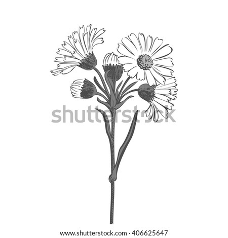 Close-up blooming flower chamomile isolated on white spring eco floral organic leaf line vector botanical curve symbol botanic summer pen drawing paint black vertical daisy ink illustration flora stem - stock vector