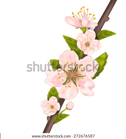 Close Up Cherry Blossom, Branch of Tree Isolated on White Background - Vector - stock vector