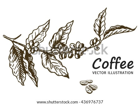 Coffee branch with leaf, berry, coffee bean, fruit, seed. Natural organic caffeine. Hand drawn vector illustration. Illustration on white background for shop. Green coffee.  - stock vector