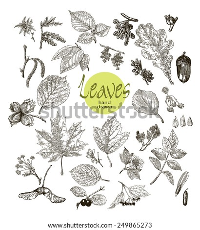 Collection of highly detailed hand drawn leaves, fruit and inflorescence isolated on white background. Watercolor blot. Botany  background. - stock vector