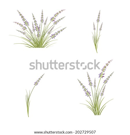 Collection of Lavender Flower Over White Background - stock vector
