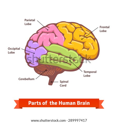Colored and labeled human brain diagram. Flat vector illustration. - stock vector