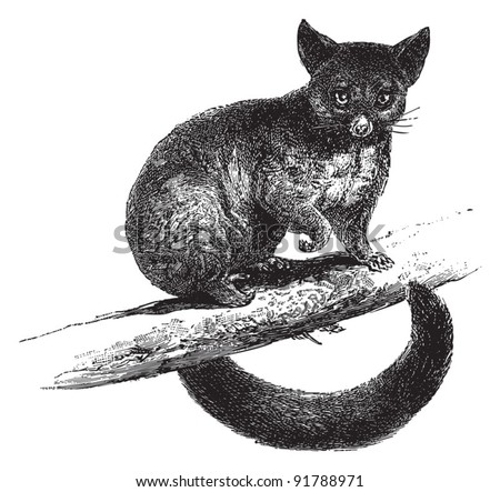 Common Brushtail Possum (Trichosurus vulpecula) / vintage illustration from Meyers Konversations-Lexikon 1897 - stock vector