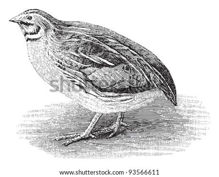 Common Quail (Coturnix communis) / vintage illustration from Meyers Konversations-Lexikon 1897 - stock vector