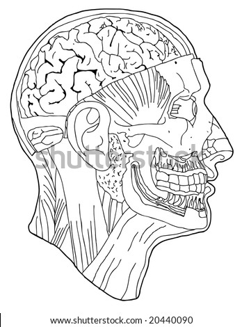 contour line drawing of of an anatomical head (VECTOR) - stock vector