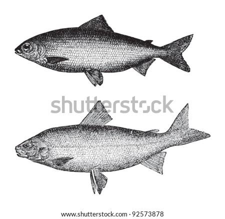 Coregonus wartmanni above and Whitefish (Goregonus albus) below / vintage illustration from Meyers Konversations-Lexikon 1897 - stock vector