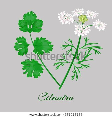 Coriander or Cilantro.Vector. - stock vector