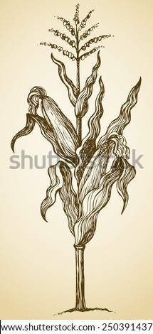 Corn plant stalk, wavy leaves, ripe ears and blossom seeds on top. Vector monochrome freehand drawn background sketching in style of antiquity pen on paper with space for text - stock vector