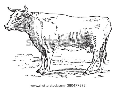 Cow Bretonne, vintage engraved illustration. Dictionary of words and things - Larive and Fleury - 1895. - stock vector