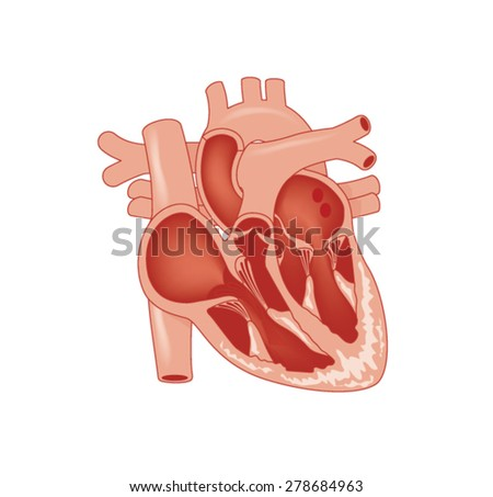 Cross section through the heart, showing the major vessels and named valves. Created in Adobe Illustrator.  Contains gradient meshes.  EPS 10. - stock vector