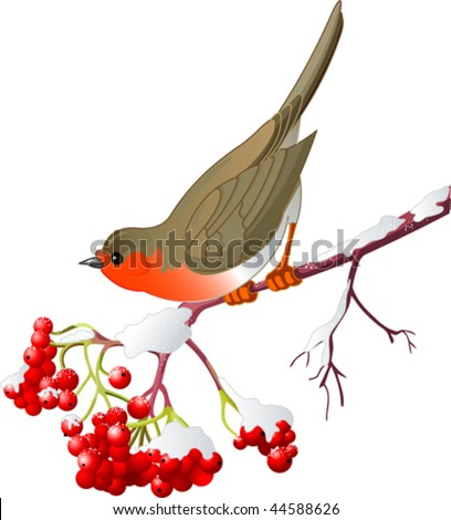 Cute Robin sitting on mountain ash branch. Isolated on white background - stock vector