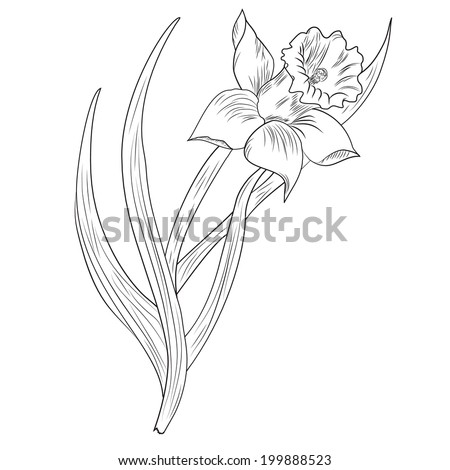 Daffodil flower or narcissus isolated on white background - stock vector