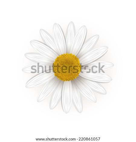 Daisy flower  - stock vector