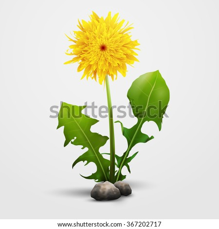 Dandelion flower isolated on white with small rocks. - stock vector
