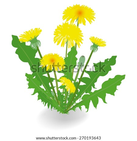 Dandelion flowers isolated on white background. Vector illustration. - stock vector