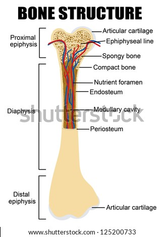 Diagram of human bone anatomy (useful for education in schools and clinics ) - vector illustration - stock vector