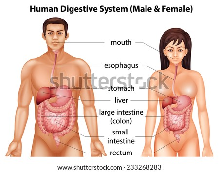 Digestive system of humans - stock vector