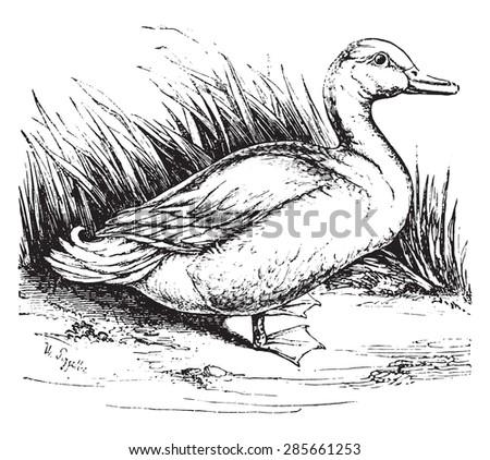 domestic duck vintage engraved illustration natural dc power jack wiring schematic farm jack schematic