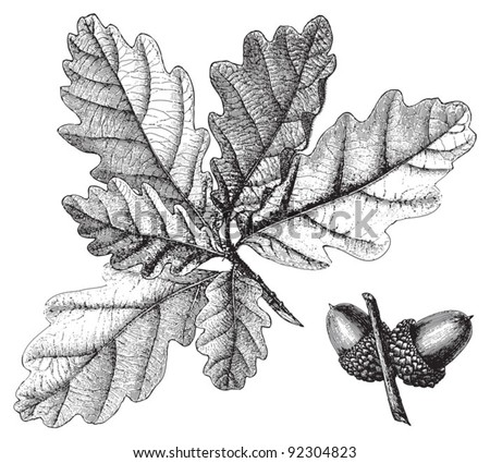 Downy Oak (Quercus pubescens) / vintage illustration from Meyers Konversations-Lexikon 1897 - stock vector