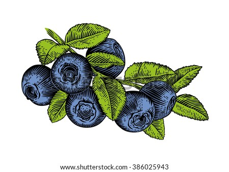 Whortleberry bush Stock Photos, Images, & Pictures ...
