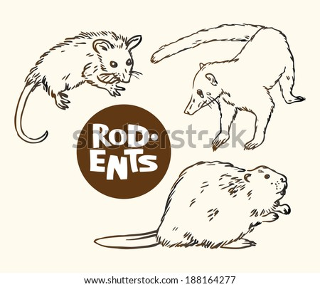 Drawn vector illustration of a set of rodents animals: opossum, Nasua and beaver  - stock vector
