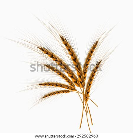 ears of wheat vector - stock vector