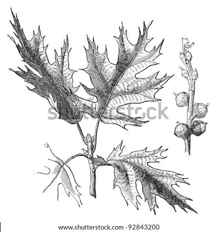 Eastern Black oak (Quercus velutina) / vintage illustration from Meyers Konversations-Lexikon 1897 - stock vector