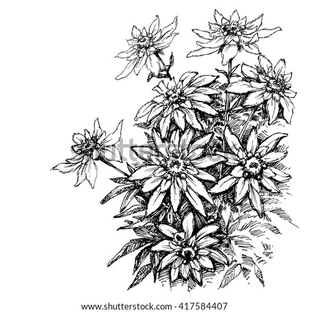 Edelweiss etching, rare flowers foliage - stock vector