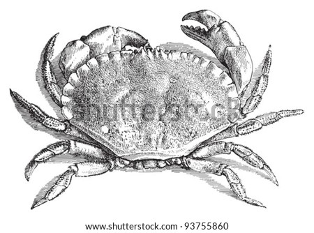 Edible crab (Cancer pagurus) / vintage illustration from Meyers Konversations-Lexikon 1897 - stock vector