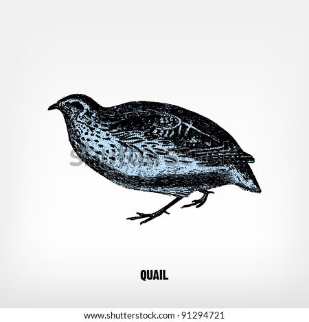 """Engraving vintage Quail from """"The Complete encyclopedia of illustrations"""" containing the original illustrations of The iconographic encyclopedia of science, literature and art, 1851. Vector. - stock vector"""
