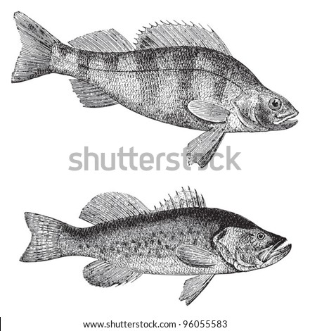 European perch (Perca fluviatilis) above and Growler (Grystes salmoides) under / vintage illustration from Meyers Konversations-Lexikon 1897 - stock vector