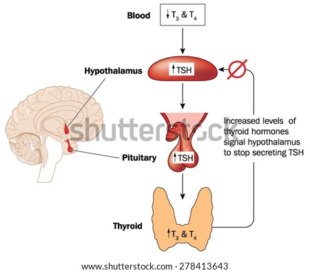Feedback loop controlling thyroid hormone secretion involving the blood, hypothalamus and pituitary gland. Created in Adobe Illustrator.  Contains gradient meshes.  EPS 10. - stock vector