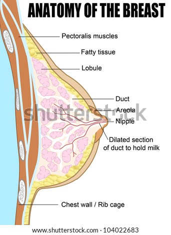 Female breast anatomic cross section (for basic medical education, for clinics & Schools), vector illustration - stock vector