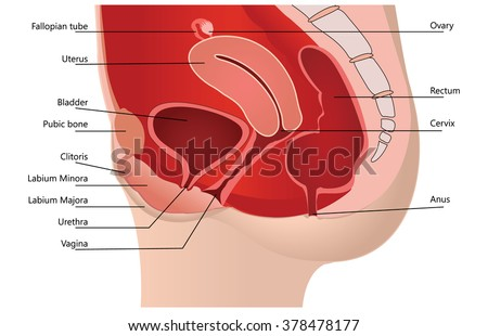Female Reproductive System in Median Section On white Background - stock vector