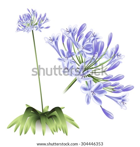 Floral background. Agapanthus flowers for design purposes. Fully editable vector  - stock vector