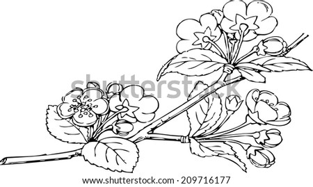 flowers of apple trees, blooming apple tree, flowering tree, twig with flowers, spring - stock vector