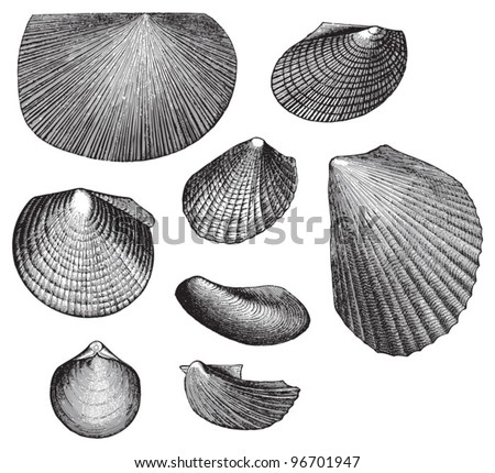 Fossil shell (Triassic period) / Vintage illustration from Meyers Konversations-Lexikon 1897 - stock vector