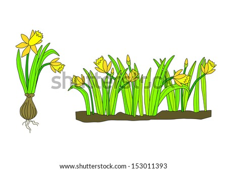 Fresh daffodils with yellow flowers and green foliage. Set of two compositions; one with bulb and the other in a row. Easily scalable, changed or rearranged. - stock vector