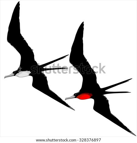 Frigate Birds Male and Female - stock vector