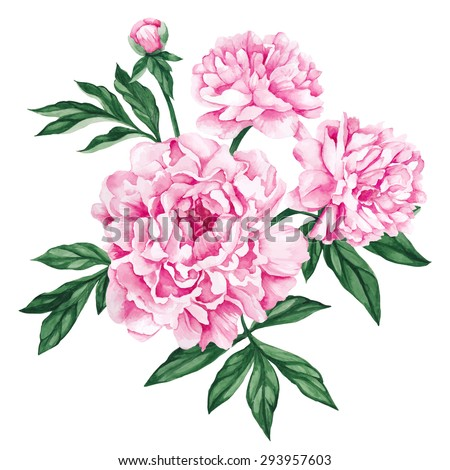 Garden peony. Watercolor, hand painted, isolated on white background. Vector illustration. - stock vector