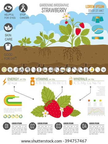 Gardening work, farming infographic. Strawberry. Graphic template. Flat style design. Vector illustration - stock vector