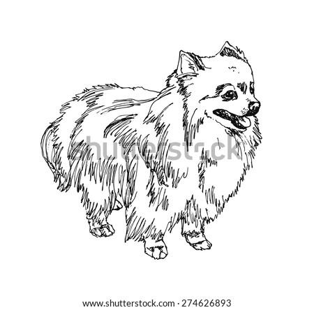 German Spitz. Pomeranian Dog. hand drawn. Vector illustration - stock vector