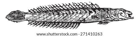 Gobioides, vintage engraved illustration. - stock vector