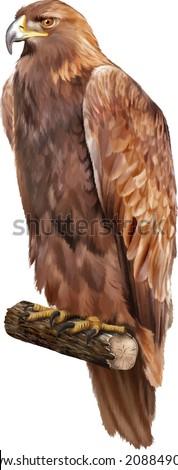golden eagle (Aquila chrysaetos) orel skalni - stock vector