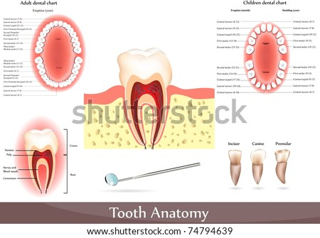 Great collection of Tooth anatomy. Detailed diagrams. Beautiful bright colors - stock vector