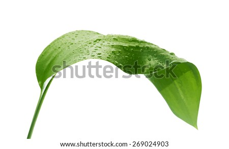 green leaf with drops of water, vector - stock vector