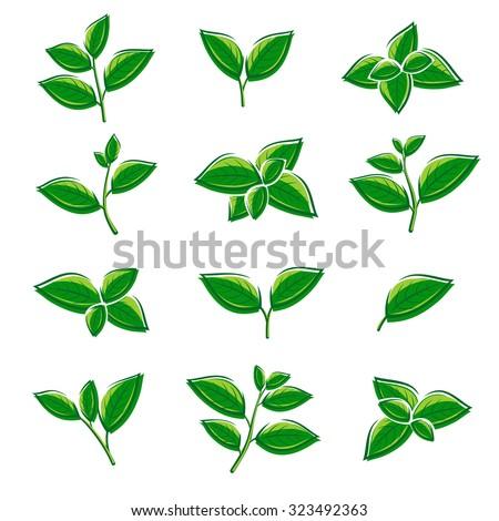 Green tea leaf collection set. Vector - stock vector