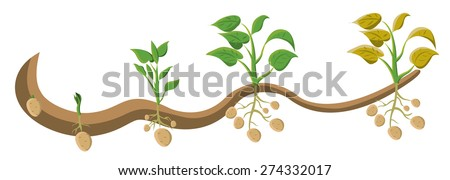 Growing potato plant isolated on white background - stock vector