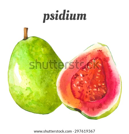 Guavas. Vector illustration with watercolor fruit. Watercolor illustration of a painting technique. Fresh organic food.  - stock vector